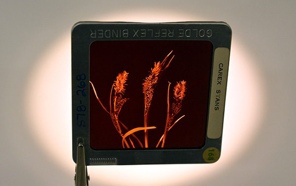A photographic slide held by tweezers, showing an Arctic water sedge (archive slide S78-268).