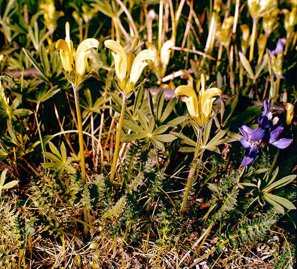 A capitate lousewort in bloom (archive slide S78-304).