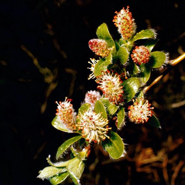 Arctic willow in bloom (archive slide S78-318).