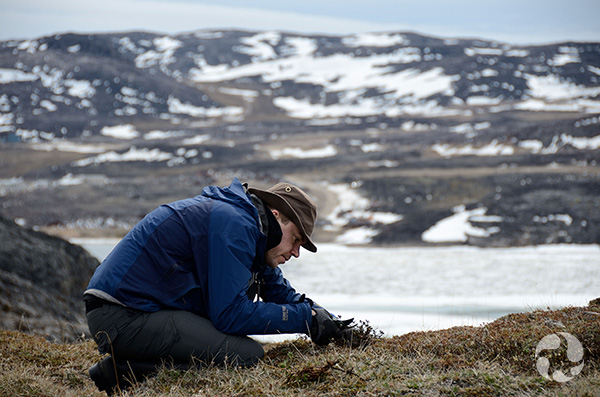 Museum botanist crouched on ground collecting plants in the Arctic.