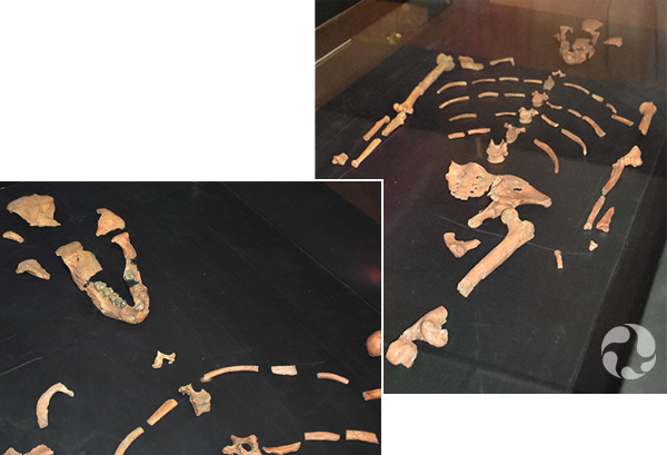 (left) Display of the skeletal remains of Lucy. (right) The jawbone and partial skull of Lucy.