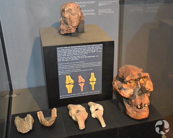 A display case with partial skull of an early hominid.