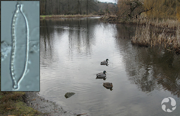 Collage: Ducks on a lake and a diatom.