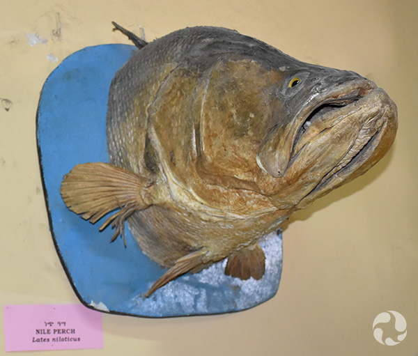 The head of a fish mounted on a wall.