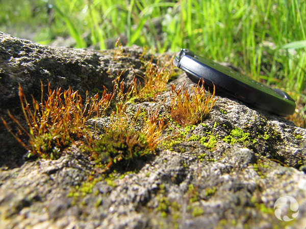 Close-up of a clump of Porter's Twisted Moss on rock.