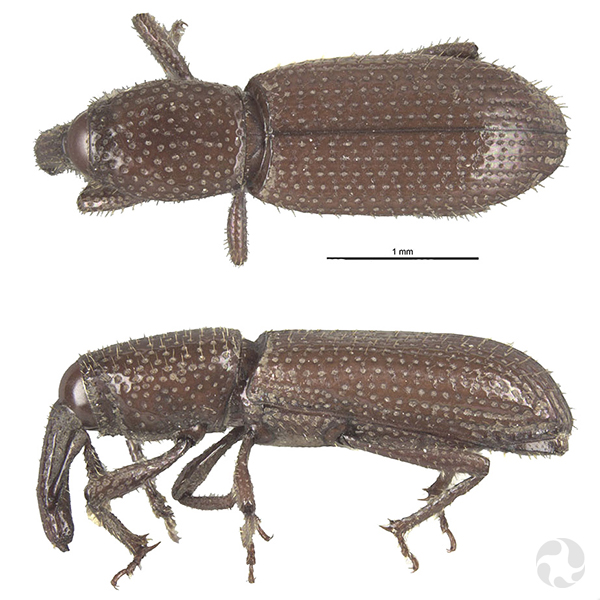 Two views of a weevil.
