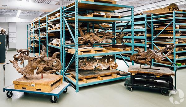 Four dinosaur skulls on shelves.