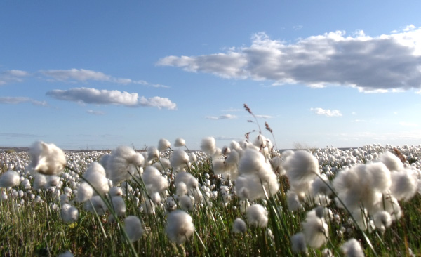 A field of cottongrass.
