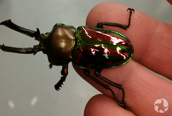 A beetle clings to a man's fingertips.