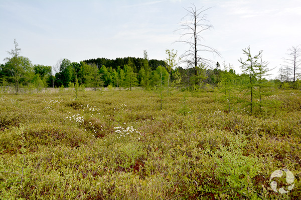 Mer Bleue Bog, located in Ottawa's Greenbelt, is designated a Ramsar Wetland of International Importance. Image: Paul Sokoloff © Canadian Museum of Nature
