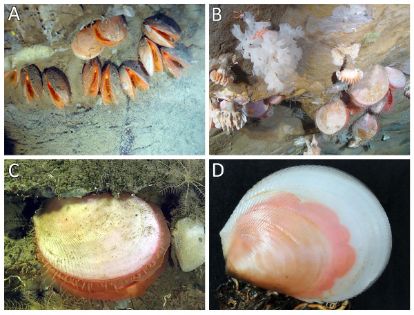Four underwater images of colonies of a giant file clam.