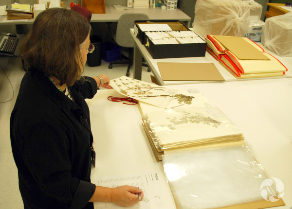 A woman stands working at a table with herbarium sheets.