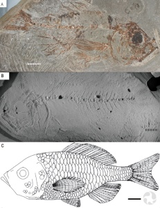 Three views of a fossil fish.