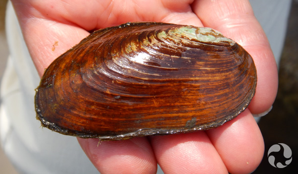 A hand holds a mussel.