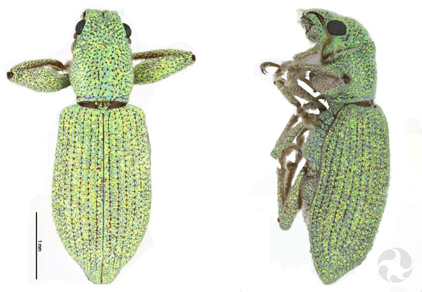 Two magnified views of a weevil.