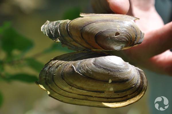 A hand holds an open mussel shell.