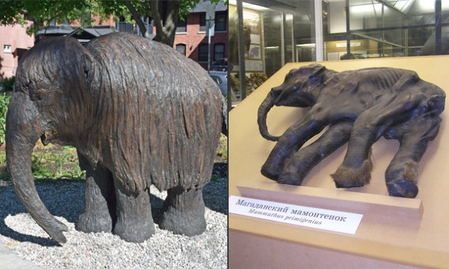 Sculpture of the baby mammoth, and the real remains on display in Russia.