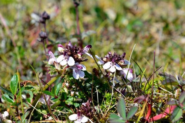 Closeup of a lousewort plant.
