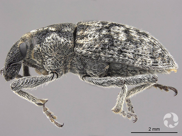 Lateral view of a weevil and a 2 mm scale bar.