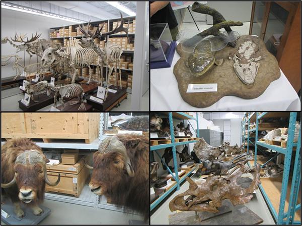 Composite: Large vertebrate skeletons, the skeleton and a model of Tiktaalik roseae, a mounted muskox, dinosaur skulls and bones.
