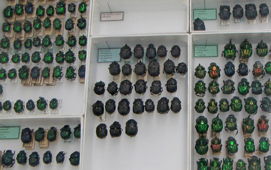 Rows of insects in a display case.