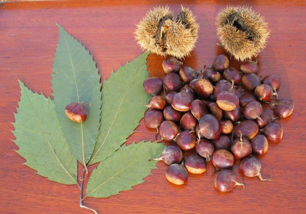 Leaves, burrs and nuts arranged on a table.
