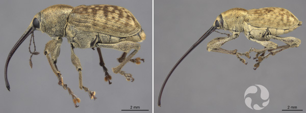 Composite: Two weevils, each with a 2 mm scale bar.