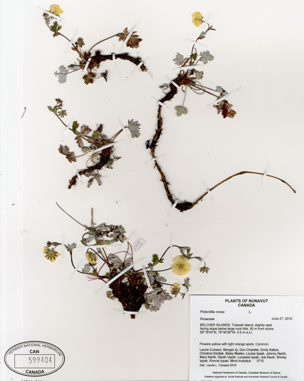 Herbarium sheet with a pressed plant