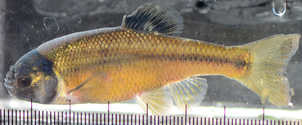 A Fathead minnow fish
