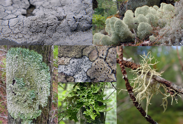 A collage of lichens