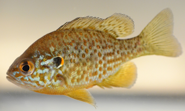 A Pumpkinseed fish