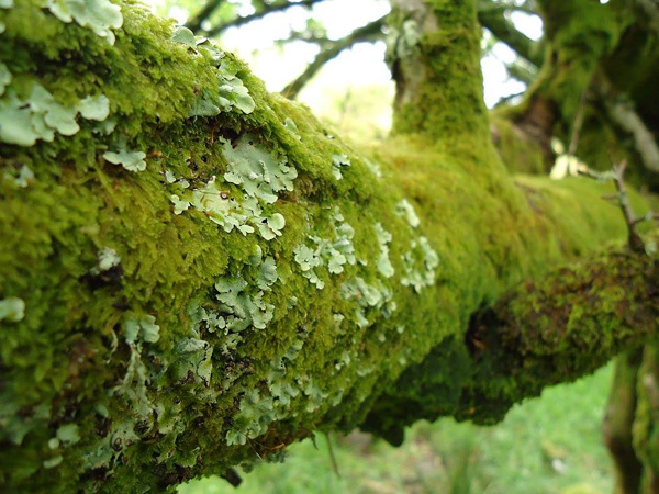 Lichen and moss on a branch