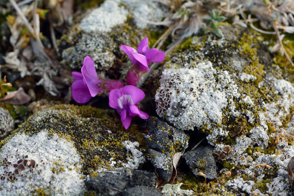 A purple flower among rocks and lichen