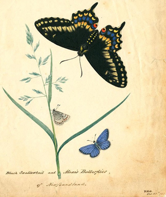 A page of hand drawn butterfly illustrations.