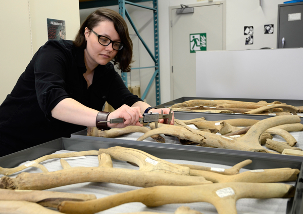 A woman measures antlers.