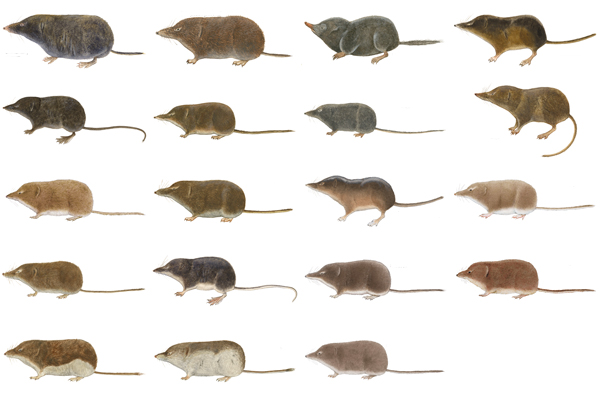 illustration of 19 shrews
