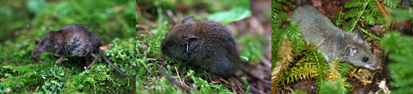 A shrew, vole and mouse.