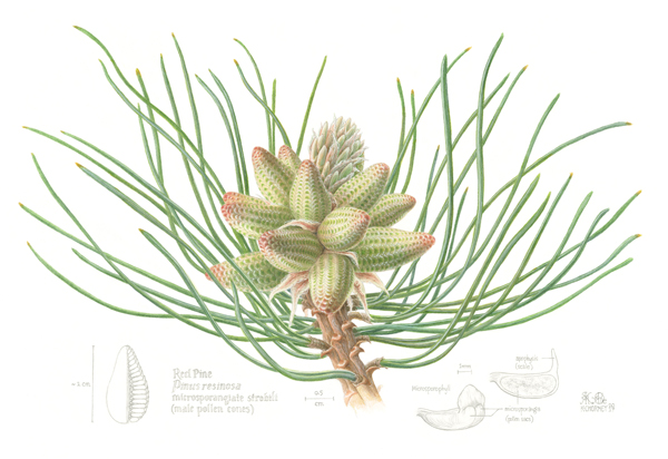 A botanical illustration of the cones of a red pine tree.
