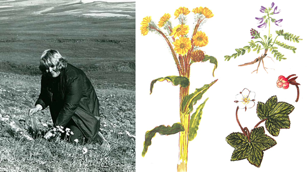 A woman collecting plants in the Arctic. On the right several of her colour sketches of Arctic plants.
