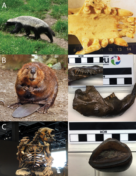Photo montage of the teeth of certain mammals, both extinct and modern.