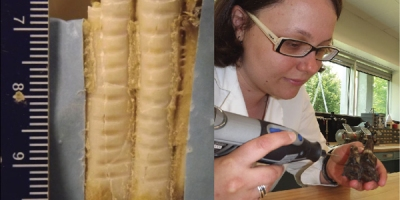 Photo of a sampled pronghorn tooth and a woman taking enamel samples from a fossil tooth.