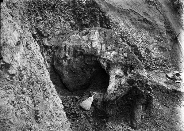 Black-and-white photograph of a plastered fossil specimen in the field.