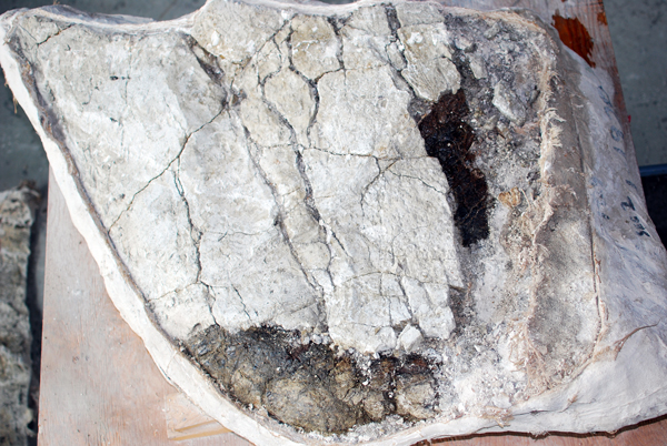 A partially prepared fossil specimen with two areas exposed beneath its plaster jacket.
