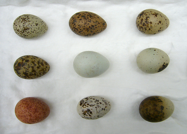 Nine gull eggs, all with different colouration and markings.