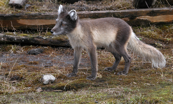An arctic fox in summer.