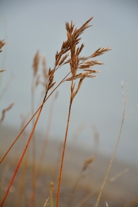 A close-up of a grass growing in front of a lake.