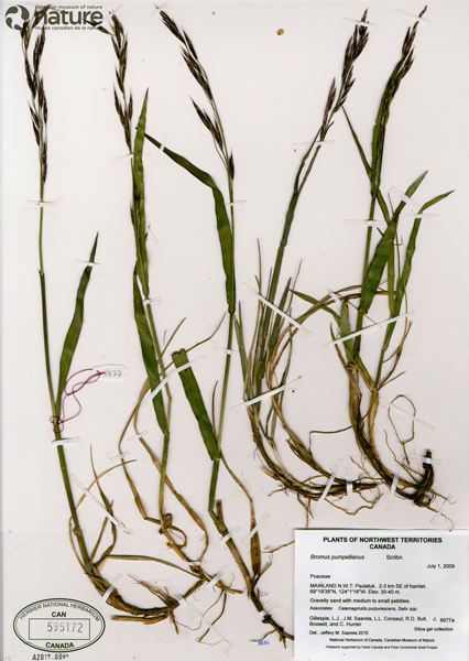 A pressed and dried plant specimen mounted on a herbarium sheet.