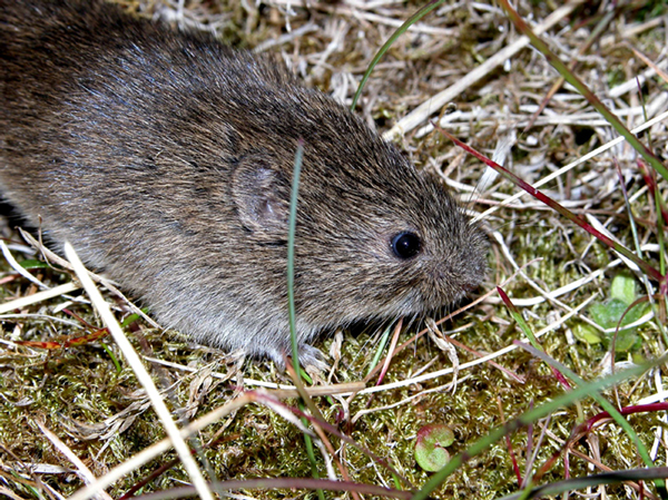 A sibling vole (Microtus levis) on the ground.