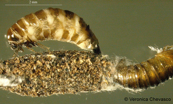 A brown moth larva next to a case made of forest debris