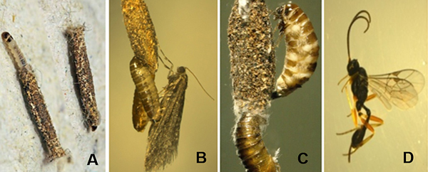 Four side-by-side images. A brown larva next to a brown case. An adult female moth. Two moth larvae. A wasp with long antennae and a long ovipositor.